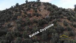 Milas Pınarcık Yola, Köye Yakın 10 Dönüm Satılık Zeytinlik