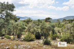 Milas Kazıklı'da Köye Yakın Satılık Zeytinlik 8200 m²